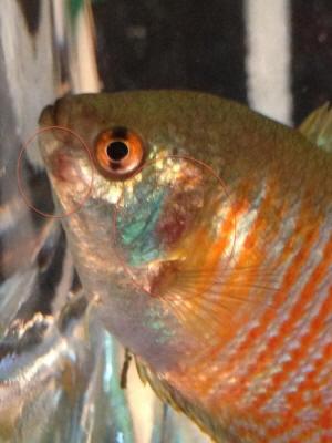 Fish disease aquariums for Kanamycin for fish