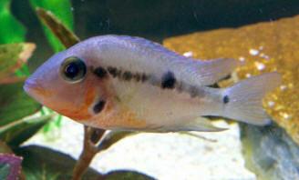 Fw env dis f for Kanamycin for fish