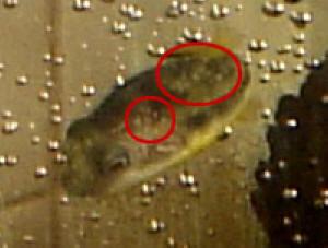 Faqs on freshwater worm parasitic diseases trematodes for Freshwater fish parasite identification