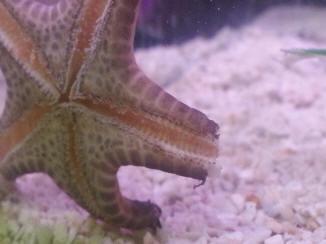 Chocolate Chip Starfish Not Moving