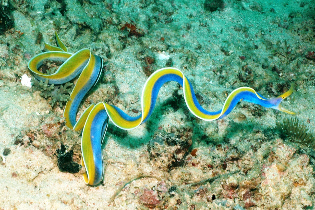 Ribbon moray eel - photo#5