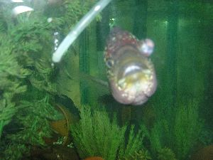 Faqs on freshwater popeye aka exophthalmia other eye issues for Fish pop eye