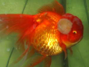 Growth On Goldfish Pictures to Pin on Pinterest - PinsDaddy