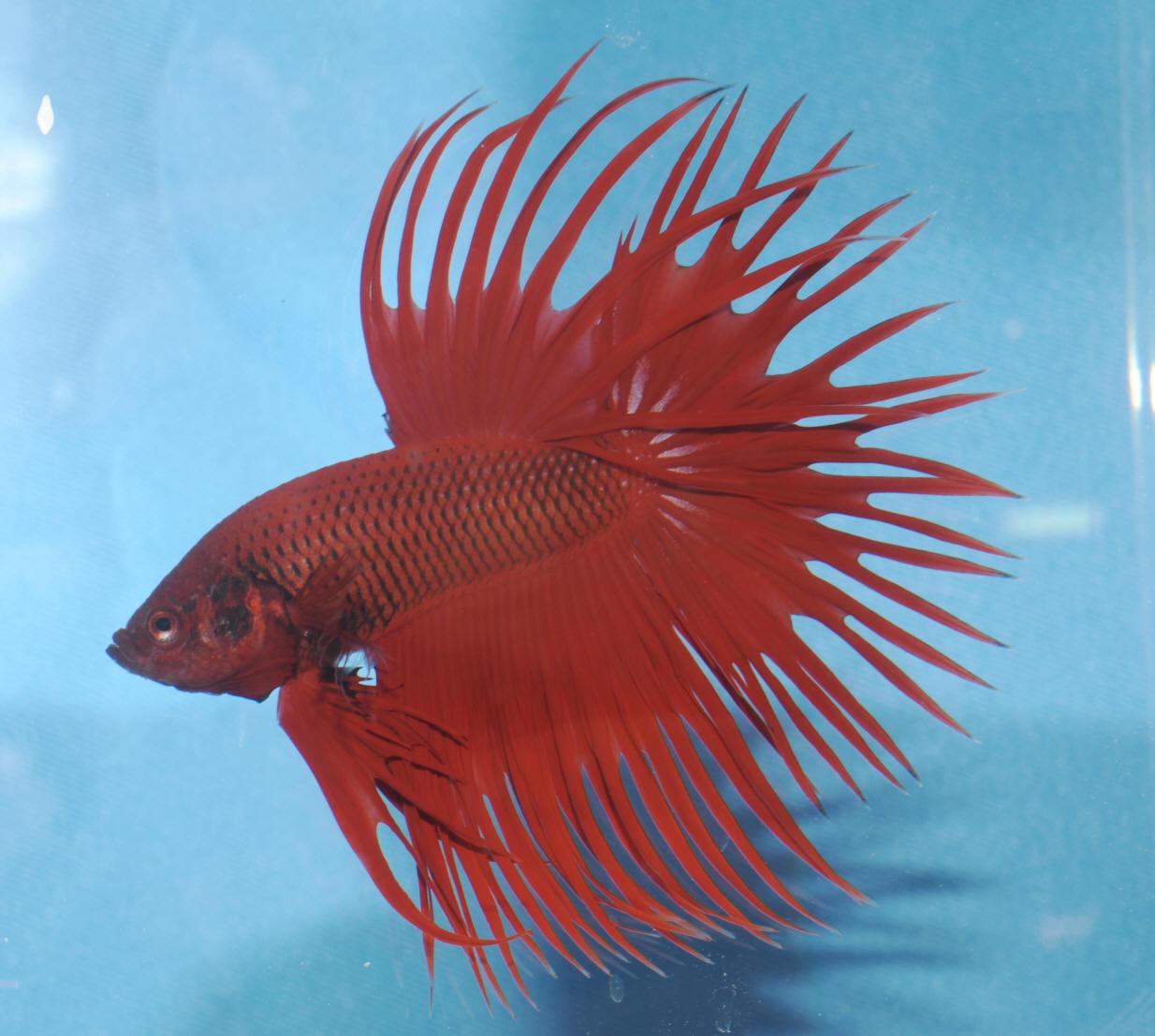 Fwpotd61 for Show betta fish