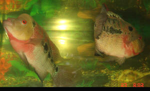 FAQs on the Flowerhorn Cichlid Selection
