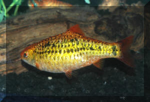 Puntius sachsii (Ahl 1923), the Gold, or Goldfinned Barb. Southeast ...