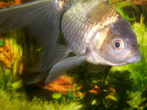 Faqs about goldfish disease health 3 for Fish scale disease