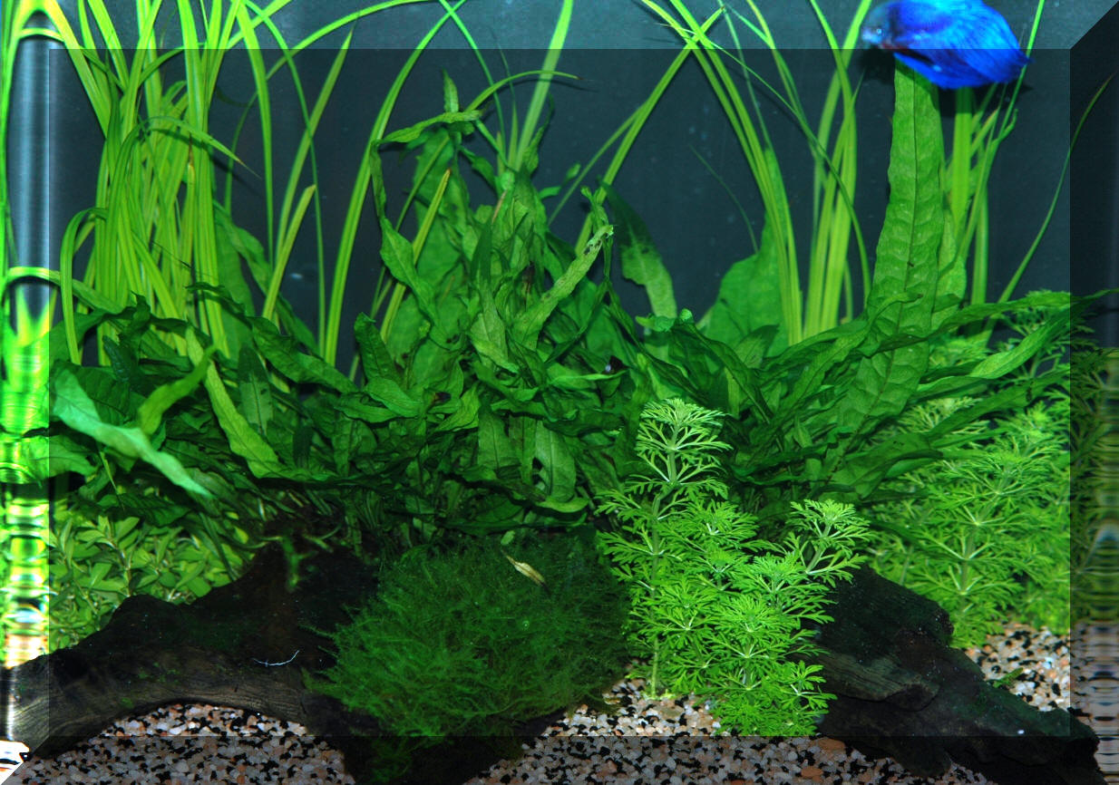 Aquascaping the planted aquarium for Plante aquarium