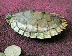 FAQs About Soft/Shell Rot, Conditions In Turtles 2