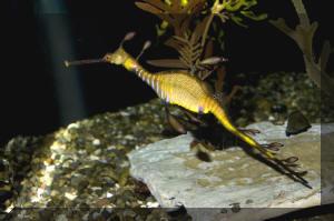 Phallopteryx%20taeniolatus%20SIO%20(1)%20MD.jpg