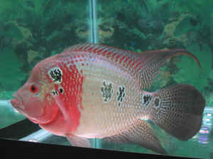 South american cichlids list - photo#5