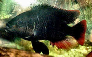 faqs on african cichlid diseases 2