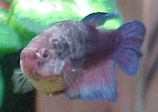 Bet dis infe f for Betta fish fungal infection
