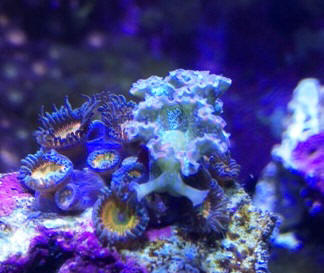 how to get rid of bubble algae in marine aquarium