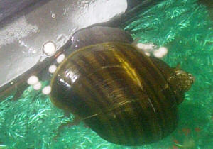 Home for How to get rid of snails in fish tank