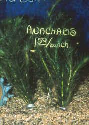 Floating anacharis