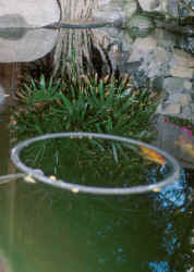 Pond fish foods feeding nutrition for Fish feeding ring