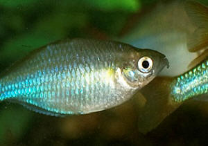 Faqs on the rainbowfishes health disease for Dwarf rainbow fish