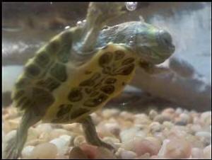 turtle selection turtle systems turtle feeding turtle disease turtle ...