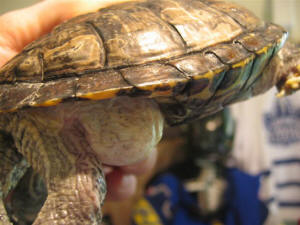 FAQs About Red Ear Slider (RES) Turtle Disease/Health 2