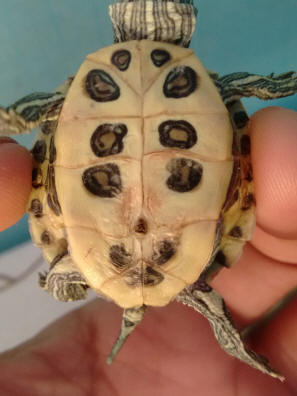 Shell Rot In Turtles: What the Shell Is Wrong With My Turtle?