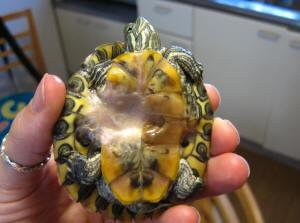 Turt Shell C F11