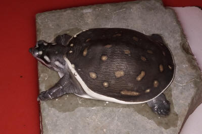FAQs About Turtle Disease/Health 3