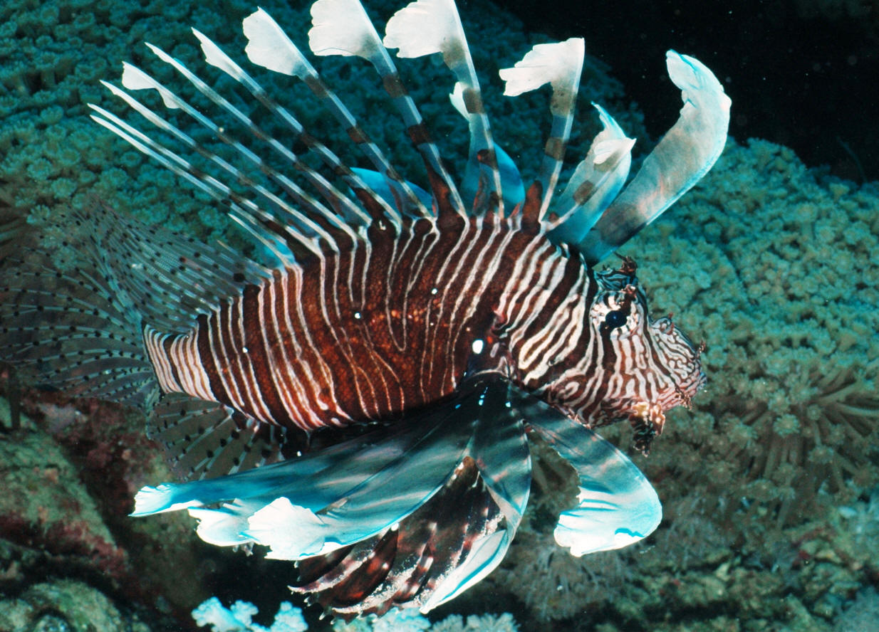 Pterois%20russelli%20RS%2008%20(3)LG.JPG