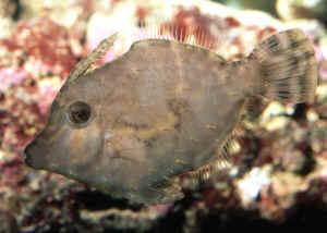 Aip filefaqs for Aiptasia eating fish