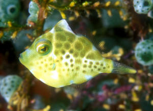 water animals of filefishes photos