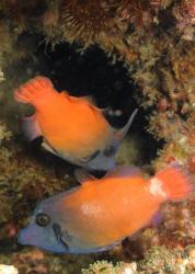 Filefishes III