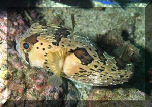 pufferfish eller fugu