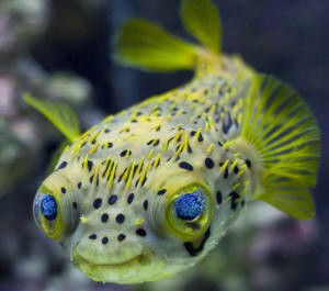 FAQs about Burrfishes, Porcupinefishes Identification