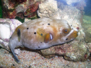 True puff env dis f for How much is a puffer fish
