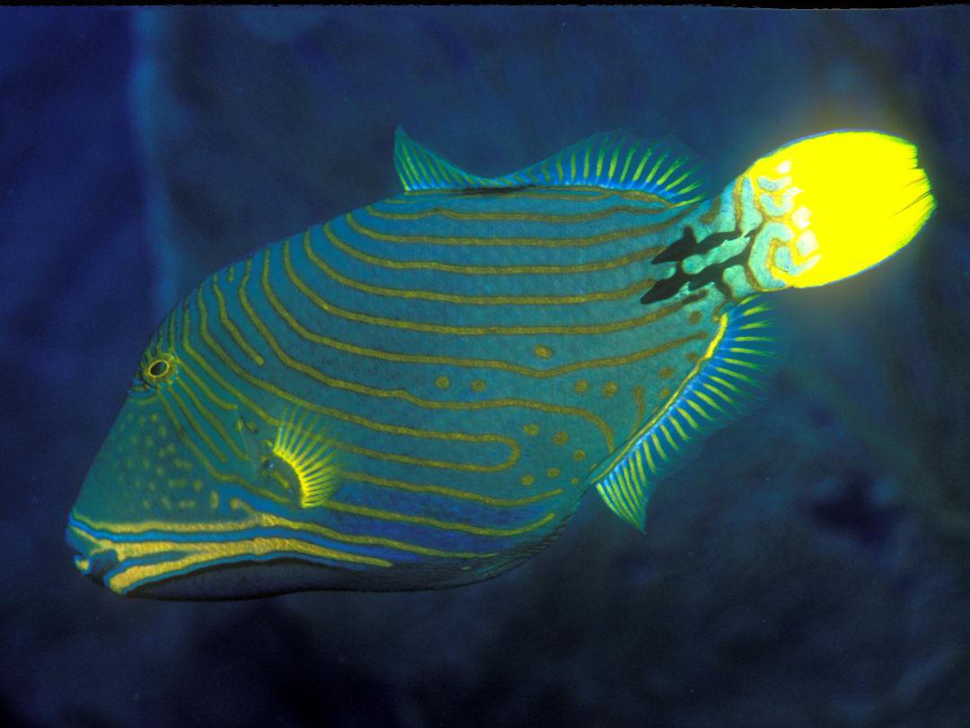 Undulate Triggerfish BalistapusUndulate Triggerfish