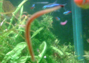 Faqs on freshwater worm parasitic diseases leeches for Worms in fish tank