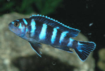 Malawian Cichlids: The Mbuna and their Allies