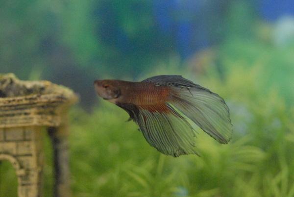 Betta fish in the wild - photo#50