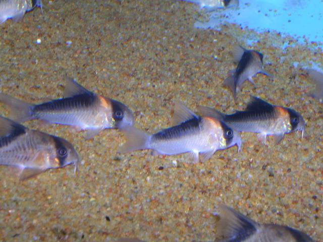 Stocking 5, 10 and 20 gallon freshwater aquaria