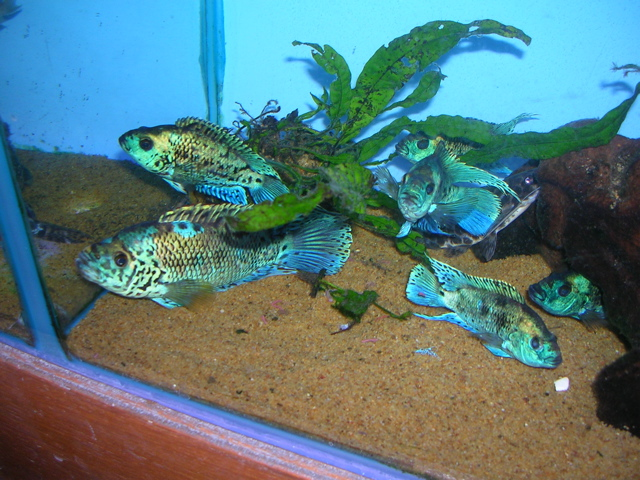 Central Americans Cichlids