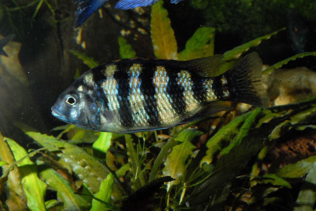 Картинки по запросу Placidochromis longimanus