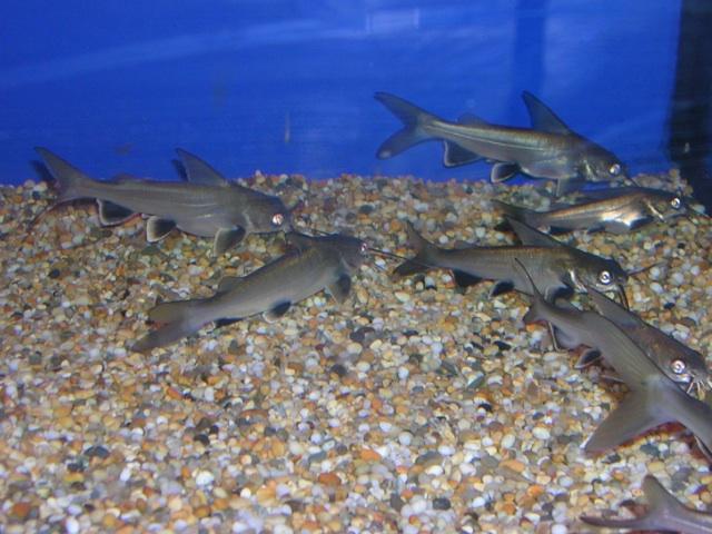 Aquarium shark catfish - photo#13