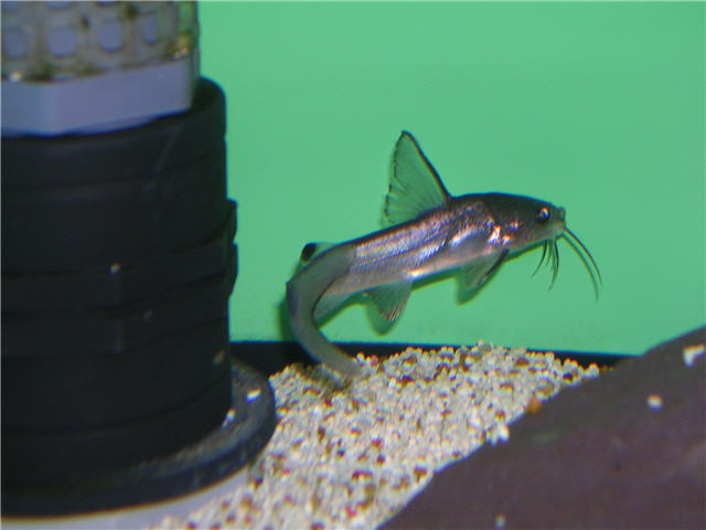 Colombian Shark Catfishes and other Ariidae