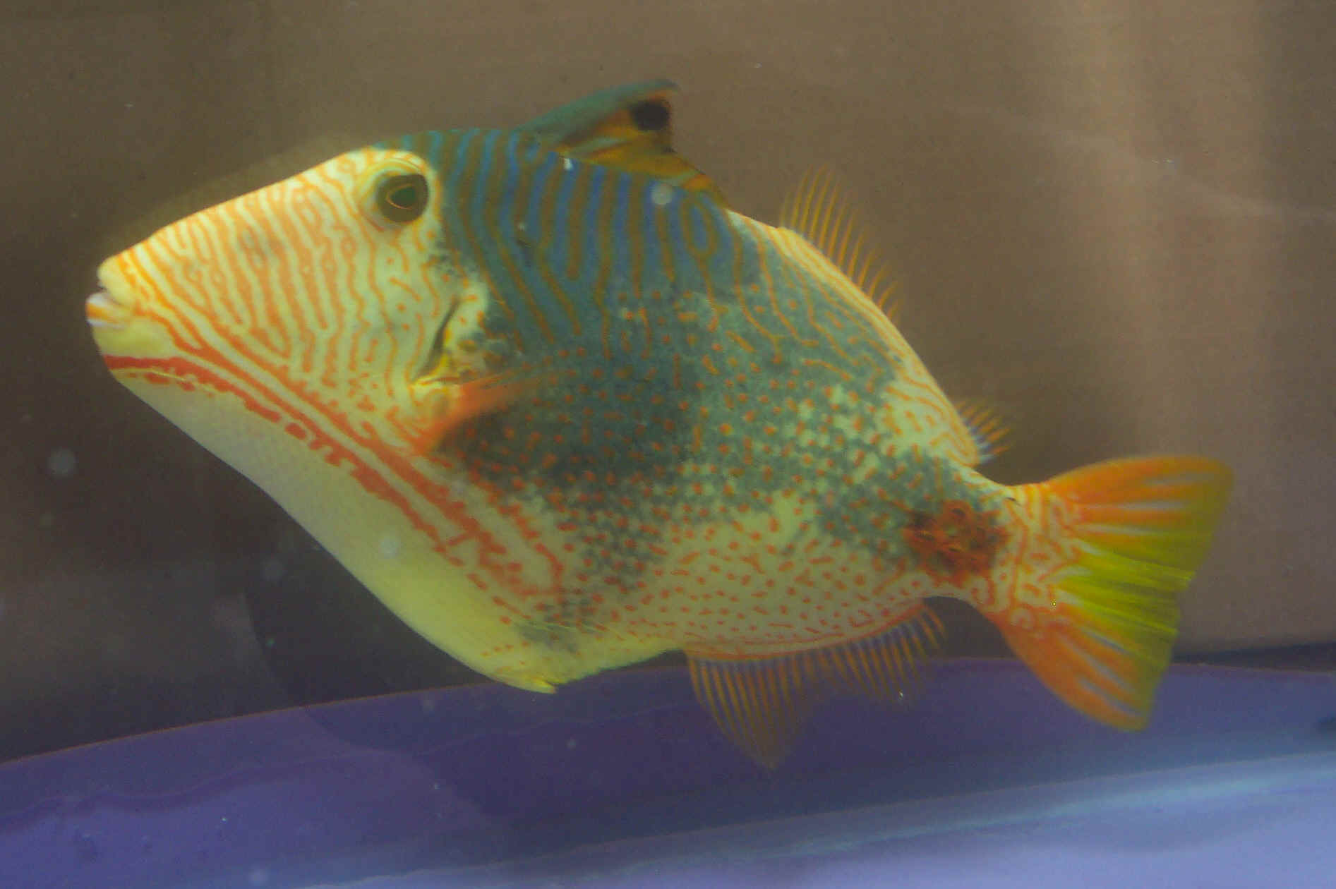 FAQs about Balistapus Triggerfishes 2Undulate Triggerfish